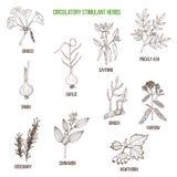 Circulatory stimulant herbs. Hand drawn vector set of medicinal plants Royalty Free Stock Photography