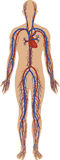 Circulatory system stock illustration