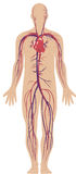 Circulatory system Royalty Free Stock Photos