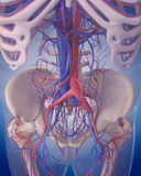 The circulatory system - abdomen Royalty Free Stock Images