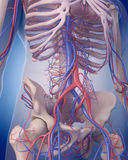 The circulatory system - abdomen Stock Photography