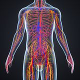 Circulatory and Nervous System with Lymph Nodes. The circulatory system, also called the cardiovascular system or the vascular system, is an organ system that Stock Photography