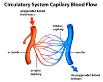 Circulatory System - Capilary blood flow. Illustration of the Circulatory System - Capilary blood flow on a white background Stock Photos