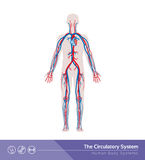 The circulatory system Stock Photography