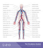 The circulatory system. The circulatory or cardiovascular human body system medical illustration Stock Photo