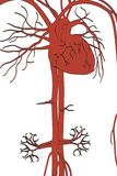 Circulatory system Stock Photography