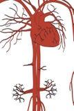 Circulatory system. 2d cartoon illustration of circulatory system Stock Photography