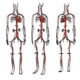 Circulatory system Stock Images