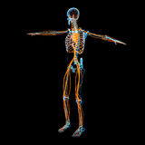 Circulatory system. 3d render circulatory system - side view Stock Image