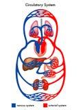 Circulatory system diagram stock photos