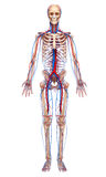 Circulatory system of full body royalty free illustration