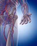 The circulatory system - hand Stock Photo