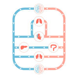 Circulatory system Royalty Free Stock Image