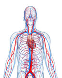 Circulatory system highlights heart Royalty Free Stock Photo