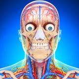 Circulatory system of human head. 3d art illustration of Circulatory system of human head  with blue Stock Photos