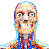 Circulatory system of human head Royalty Free Stock Image