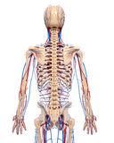 Circulatory system of male back Stock Photo