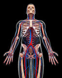 Circulatory system of male body in black vector illustration