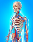 Circulatory system of male body side view Royalty Free Stock Image