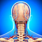 Circulatory system of male head. 3d art illustration of back view of Circulatory system of male head Stock Images