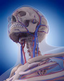 The circulatory system - neck Stock Images