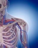 The circulatory system - shoulder Stock Photos