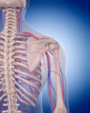 The circulatory system - shoulder. Medically accurate illustration of the circulatory system - shoulder Royalty Free Stock Image
