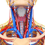 Circulatory system of throat. 3d art illustration of circulatory system of throat Royalty Free Stock Photography