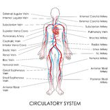 Circulatory System Royalty Free Stock Photo