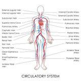 Circulatory System Royalty Free Stock Photo
