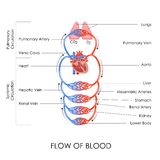 Circulatory System. Vector illustration of flow of blood in circulatory system Royalty Free Stock Image
