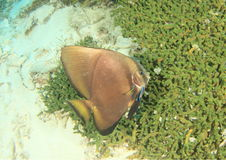 Circural Spadefish - juvenile Royalty Free Stock Images