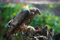 Circus aeruginosus - falcon Royalty Free Stock Photos