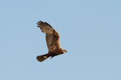 Circus aeruginosus-marsh harrier in flight Stock Photos
