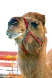 Circus camel. Stock Photos