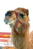 Circus camel. Circus camel under white tent stock photos