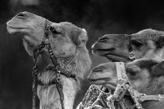 Circus camel. Close up portrait Royalty Free Stock Image