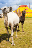 Circus camels. Two camels on a meadow in front of a yellow circus tent Stock Photography