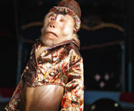 Circus chimpanzee monkey in a suit and a hat. Stock Photography