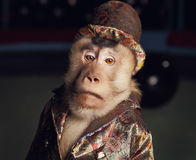Circus chimpanzee monkey in a suit and a hat. Stock Photos