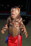 Circus chimpanzee monkey in a suit and a hat. Stock Images