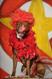 Circus dog Royalty Free Stock Photos