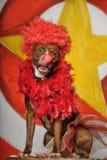 Circus dog Royalty Free Stock Photos