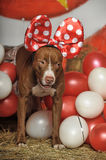 Circus dog. With a bow and balloons Royalty Free Stock Photo