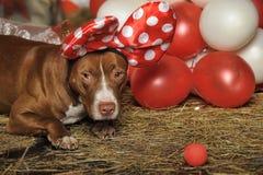 Circus dog Royalty Free Stock Photo