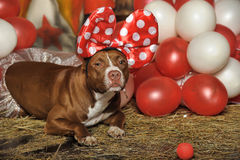 Circus dog Royalty Free Stock Image