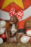 Circus dog Stock Image