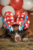 Circus dog Royalty Free Stock Images