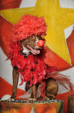 Circus dog Royalty Free Stock Photo