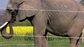 Circus Elephant stock footage